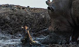 犀牛营救小斑马:不幸将其刺死